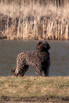 Portuguese Water Dog<br />