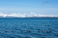 Duck decoys in Cold Bay, Alaska, Thursday, November 3, 2016. The Izembek National Wildlife Refuge lies on the northwest coastal side of central Aleutians East Borough along the Bering Sea. <br /> <br /> Photo by Matt Nager