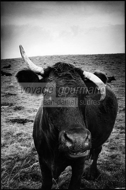 Europe/France/Auvergne/15/Cantal/Massif du Puy Mary: Vache  Saler  en paturage dans la montagne de la Font Sainte  prés de la Croix des buronniers - Parc Naturel Régional des Volcans d'Auvergne_Quoi qu'est ce  qu'elle  a ma gueule ?