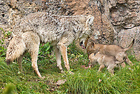 Wild Coyote (Canis latrans) mom regurgitating food for her pups.  Western U.S., June.