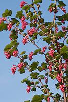 Blut-Johannisbeere, Blut - Johannisbeere, Blutjohannisbeere, Ribes sanguineum, Flowering Currant, red-flowering currant