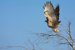 A redtailed hawk launches off its perch atop a tree.
