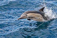 long-beaked common dolphin, Delphinus capensis, jumping, Isla San Esteban, Baja California, Mexico, Gulf of California, aka Sea of Cortez, Pacific Ocean