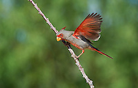 573900054 a wild male pyrrhuloxia cardinalis sinatus flaps its wings while perched on an ocotillo branch foqueria splendens near green valley arizona united states