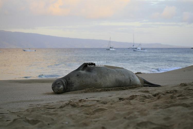 an endangered Hawaiian Monk Seal sleeps on the beach in front of the Kaanapali Alii on Ka'anapali Beach, Lahaina, Hawaii