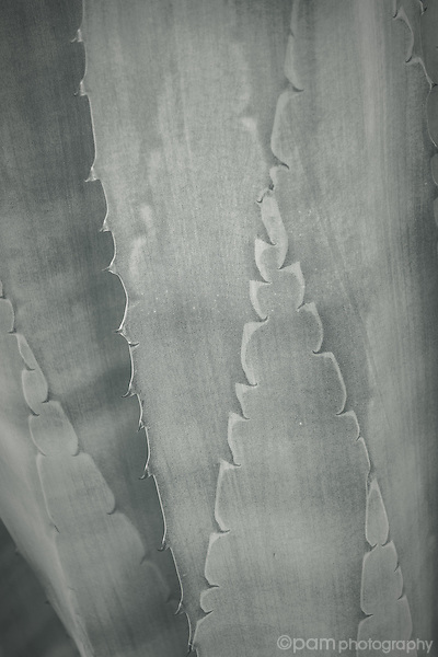 Close-up black and white image of desert succulent