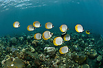 Schooling Panda butterflyfish (Chaetodon adiergastos)