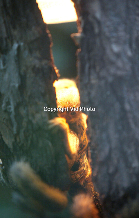 Foto: VidiPhoto..APELDOORN - Een pygmee-oestitie kijkt vrijdag nieuwsgierig door de spleet van een boom. Het jong is zo groot als een walnoot en voor het eerst voor de oplettende bezoeker te zien. Het gebeurt zelden dat deze kleinste apensoort ter wereld een drieling krijgt. In de Apenheul was dat echter wel het geval donderdag. Tot grote teleurstelling van het park is één de jonkies inmiddels overleden..