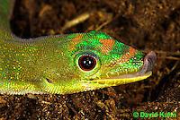 1001-0843  Gold Dust Day Gecko Licking Face with Tongue, Phelsuma laticauda © David Kuhn/Dwight Kuhn Photography.