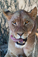Portrait of a licking lioness
