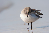 Dunlin (Calidris alpina) preening. Ocean County, New Jersey. January.
