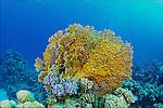 Net fire coral-Corail de feu (Millepora dichotoma) of Red Sea, Egypt