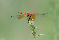 362700035 male band-winged meadowhawk sympetrum semicintum wild california