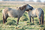 Konik Horse, Kent UK, pair mutual grooming each other, direct descendants of the Tarpan, a wild horse which was hunted to extinction, Koniks is Polish word for wild horse, winter coat, pony, introduced into wetland areas to help graze and keep reedbeds managed for conservation