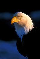 Bald Eagle.  Alaska