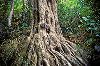 Trunk of mehamehame (Flueggea neowawraea), a very rare endangered native tree with very dense wood, in Kuia Valley (Kuia Natural Area Reserve), west Kauai.