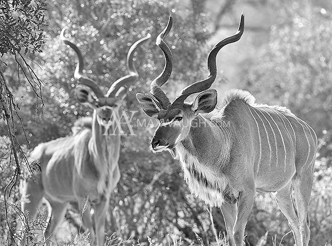 The handsome kudu may be my favorite antelope species.