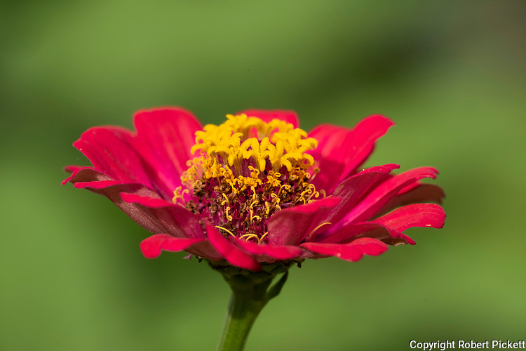 Zinnia Flower, near Sinharaja World Heritage Site, Sri Lanka, red and yellow