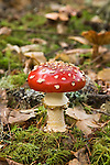 Fly amanita or fly agaric mushroom (Amanita muscaria). Native to the Rocky Mountains and Pacific Coast, USA, this specimen photographed at Fort Clatsop National Memorial, Oregon.