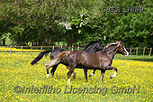 Bob, ANIMALS, REALISTISCHE TIERE, ANIMALES REALISTICOS, horses, photos+++++,GBLA3680,#a#, EVERYDAY