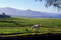 White horse grazing in green field with Mauna Kea in background, Waimea (Kamuela), Island of Hawaii