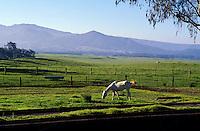 White horse grazing in green field with Mauna Kea in background, Waimea (Kamuela), Island of Hawaii