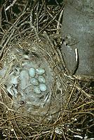 Kolkrabe, Ei, Eier, Gelege im Nest, Horst, Kolk-Rabe, Rabe, Corvus corax, common raven