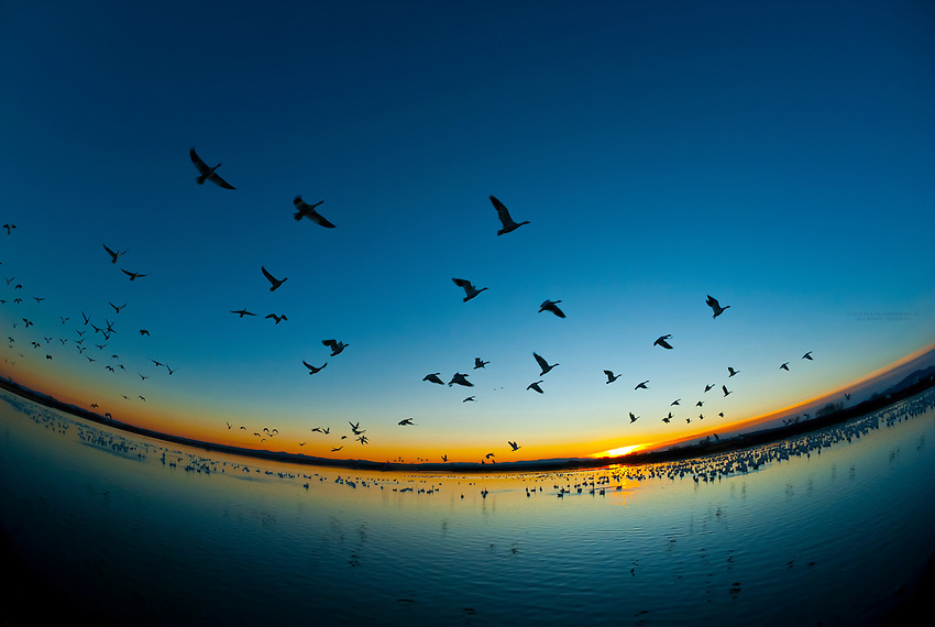 Flocks of Snow geese flying at sunrise, Bosque del Apache National Wildlife Refuge, near Socorro, New Mexico USA