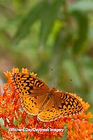 03322-01714 Great Spangled Fritillary (Speyeria cybele) on Butterfly Milkweek (Asclepias tuberosa) Reynolds Co. MO
