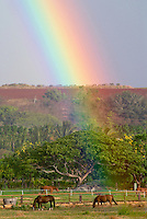 Rainbow over grazing horses on Oahu's north shore