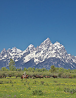 A Wyoming cowboy works cows in Jackson Hole Wyoming beneth the stunning peaks of the Grand Tetons.<br />