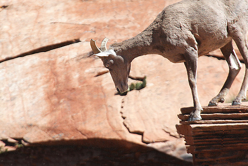 A desert bighorn sheep is perched on the edge of a cliff at Zion National Park,Utah.