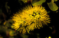 Beautiful yellow lehua blossoms on an ohia tree on the Big Island of Hawaii.