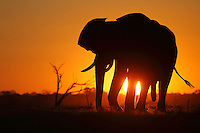 Silhouette of a large bull elephant in the Savuti Marsh at sunset