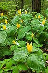 Yellow trillium (Trillium luteum) and spring snow, Greenbrier