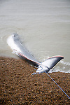 Fin Whale, Balaenoptera physalus, washed up dead on Shingle Street, Suffolk, England