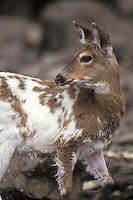 Young Blacktailed Deer (piebald) at Cape Alava, Olympic National Park, Washington