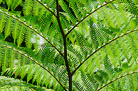 A close-up of hapu'u ferns along the trail at 'Akaka Falls State Park, Honomu, Big Island.