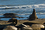 Elepahnt Seals on beach at Ano Nuevo State Reserve, San Mateo County coast, California