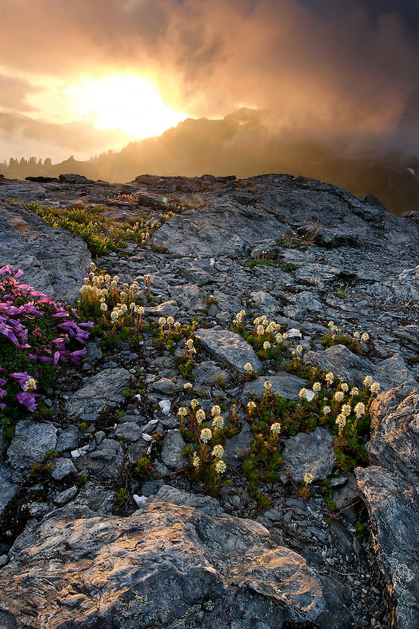 View of sun setting over wildflowers on Yellow Aster Butte, North Cascades, Whatcom County, Washington, USA