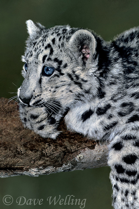 654409018 portrait of a two month old snow leopard panthera uncia perched on a large log - individual is a wildlife rescue - species is native to the high steppes of central asia