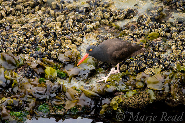 Black Oystercatcher(Haematopus bachmani), Santa Cruz, California, USA