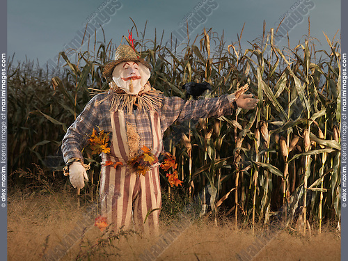 Scarecrow character in a corn field in fall