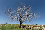 Israel, the Upper Galilee. Walnut tree on Mount Meron