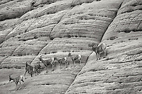 Bighorn Sheep on Checherboard Mesa. Zion National Park, UT