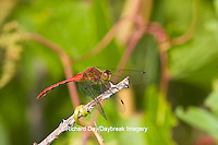 06663-00106 Ruby Meadowhawk dragonfly (Sympetrum rubicundulum) male, Jo Daviess Co.  IL