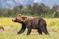 A male kodiak grizzly bear (Ursus arctos middendorffi) shakes off water, Kukak Bay