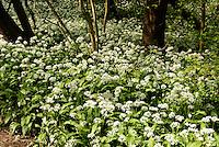 B&auml;rlauch (Allium ursinum) im D&oslash;ndal (Donnertal) )auf der Insel Bornholm, D&auml;nemark, Europa<br /> ramson (Allium ursinum) in D&oslash;ndal, Isle of Bornholm Denmark