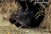MB05-001z   Star-nosed Mole - in burrow - Condylura cristata
