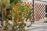 Leucospermum praecox 'Patricia'  flowering in courtyard entry in California summer-dry garden; design Jo O'Connell